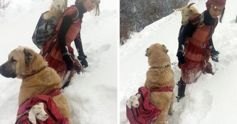 Девочка с собакой спасли коз…