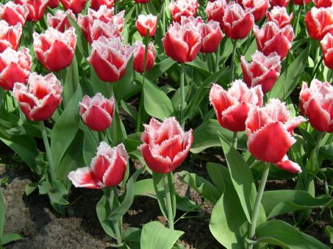 Весенняя посадка тюльпанов