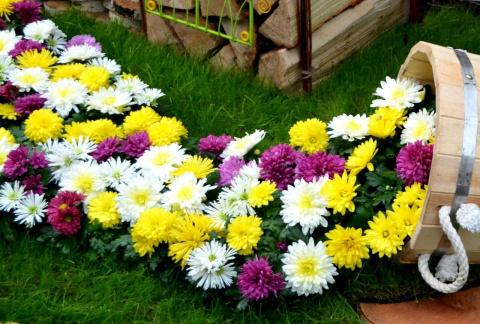 Хризантемы в саду: правила посадки и советы по уходу