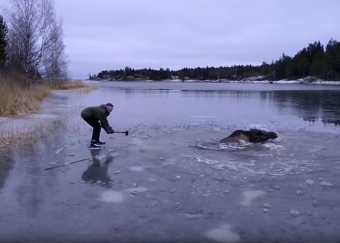 Спасение лося из плена замёрзшей воды