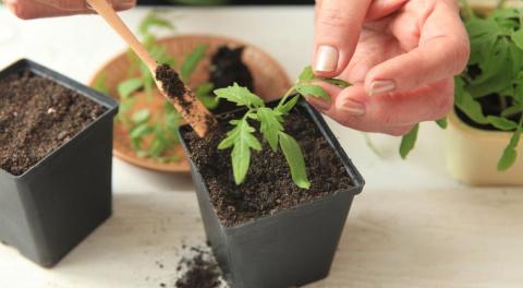 Пикировка рассады помидоров – пошаговый мастер-класс