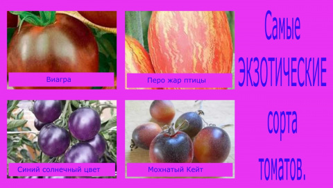 Самые экзотические сорта томатов. Подробнее смотрите видео здесь