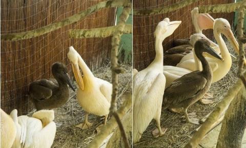 В столичном зоопарке появились птенцы у розового и кудрявого пеликанов