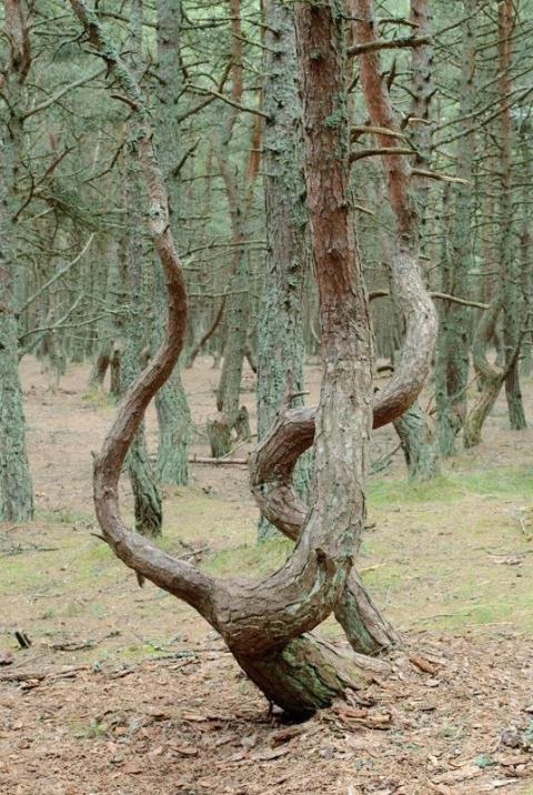Танцующий лес в Калининградской области