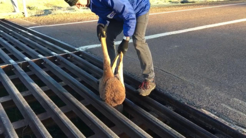 Застрявший кенгуру в сливной решетке