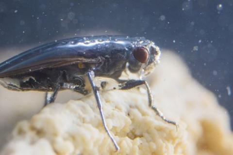 Как уникальные мухи-акваланг…