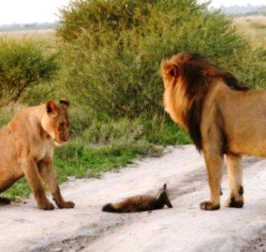 Кажется, что этот раненый лисенок станет легкой добычей прайда. Но одна из львиц решила иначе...