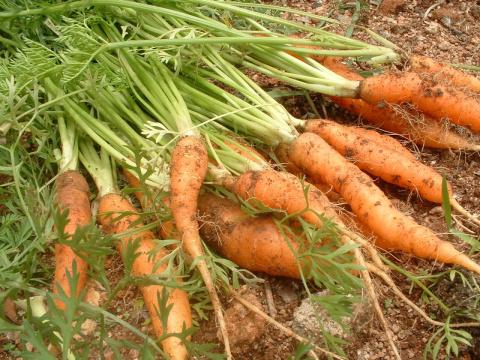 Ошибки на морковной грядке