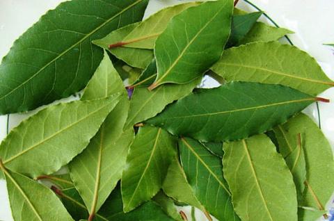 Лекарственные свойства лаврового листа