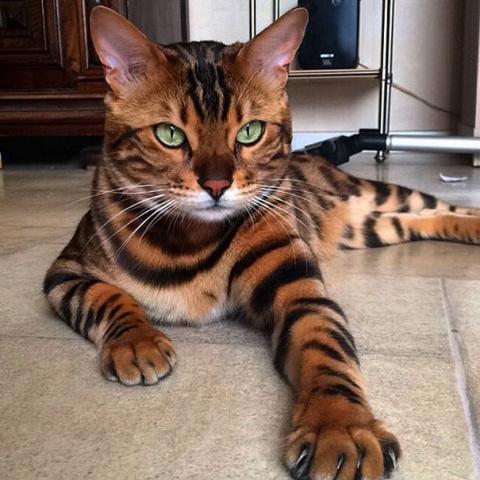 Порода котов, которая стоит …