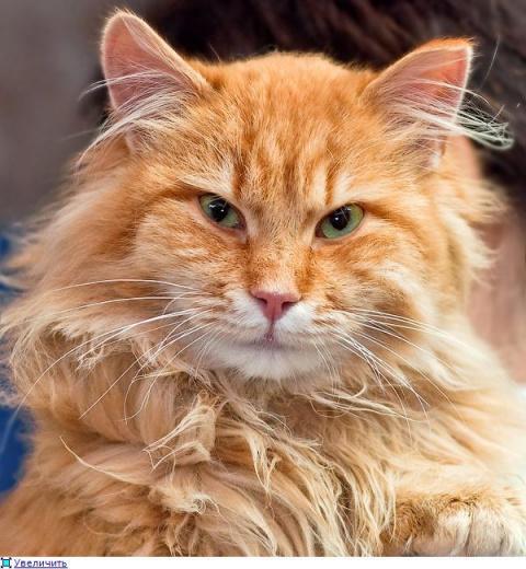 Спасение рыжего кота, застря…
