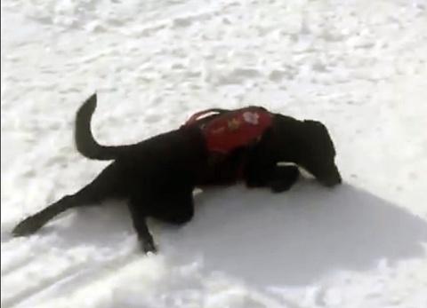 Собака-спасатель виртуозно съезжает с заснеженного склона
