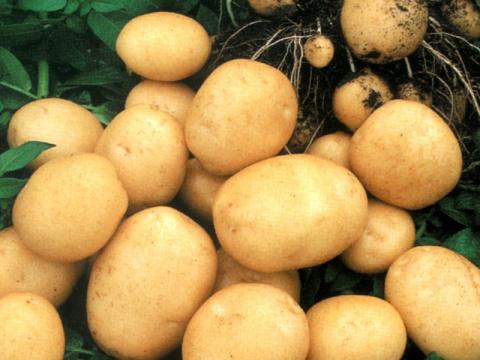 Картофель из семян: за и против