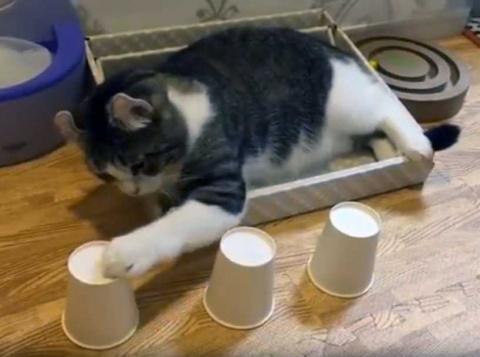 Котика не обманешь! Пушистый кошмар любого наперсточника