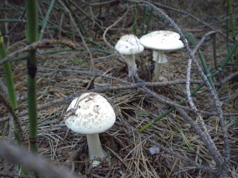 какой гриб?
