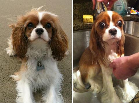 27 смешных собак, сфотографированных до и после принятия ванны