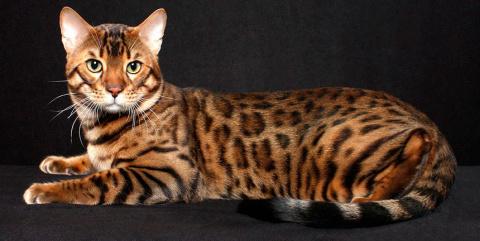 КОШКИН ДОМ. Бенгальская кошка