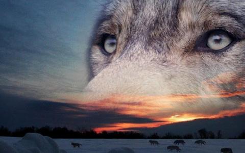 Волки умирают в одиночку
