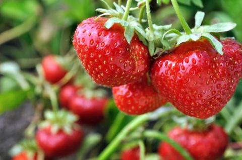 5 клубничных заблуждений. Чего не стоит делать при уходе за ягодой
