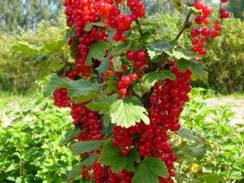 Уход за плодовыми кустарника…