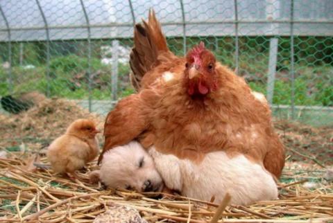 """""""Да, я обычная курица! А это…"""