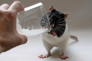 Индийские крысы выпили тысяч…