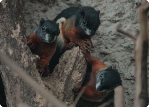 В зоопарке Честера родились детеныши белки Превоста