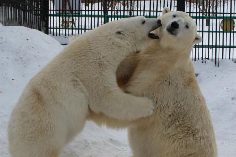 Белые медведи в красноярском зоопарке удивили всех нежным проявлением чувств