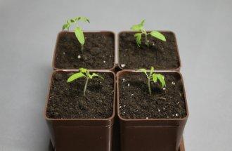 Выращиваем рассаду помидоров…