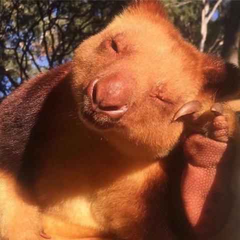 Это древесные кенгуру и на н…