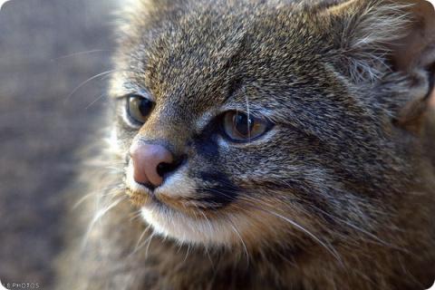 КОШКИН ДОМ. Пампасская кошка