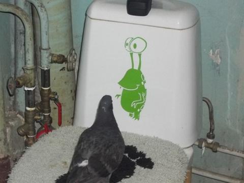 История одного голубя-подобранца