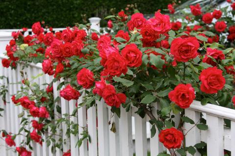 Как правильно весной размножить розы черенками