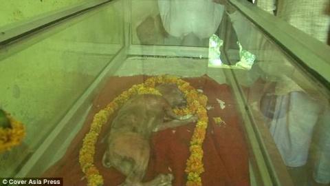 В Индии родился теленок с «человеческой головой»