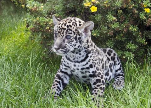 Я - самарский ягуар, и зовут меня Азар