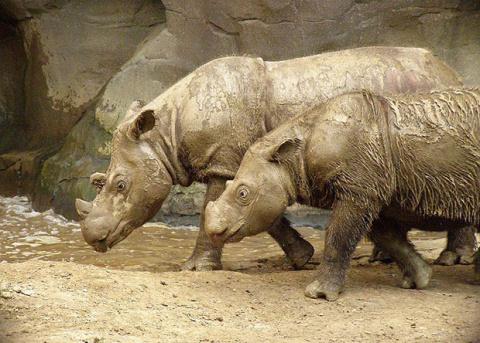 Причины вымирания суматранских носорогов нашли в эпохе плейстоцена