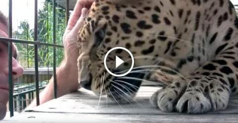 Мужчина решил погладить леопарда...