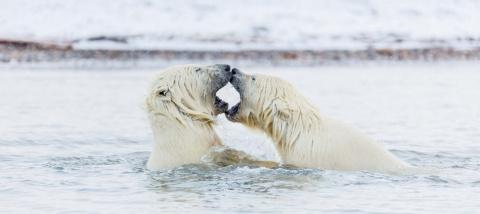 Игривая борьба полярных медвежат у берегов Аляски