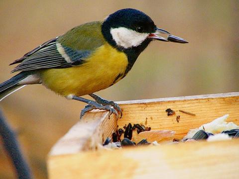 Вкусняшки для пернатых: какие лакомства приманят птиц на участок