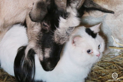 Вопреки законам природы: кот и коза образовали влюбленную пару