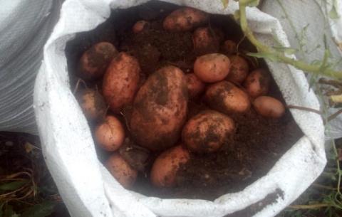 Она ВЫРАСТИЛА ОТЛИЧНЫЙ урожай картошки В МЕШКАХ! Попробуй и ТЫ!