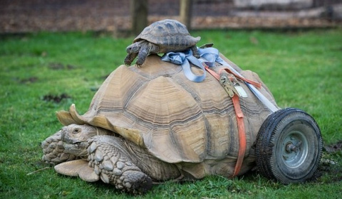 Самец черепахи стал инвалидом из-за чрезмерной cекcуальной активности