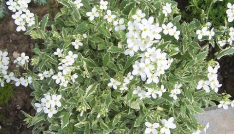 11 растений-ковриков для вашего сада