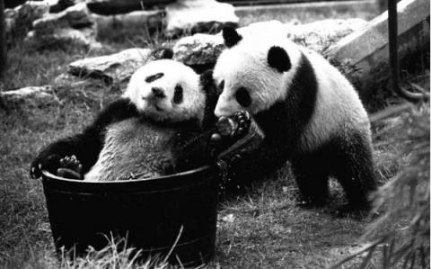 Гигантские панды в Англии: и…