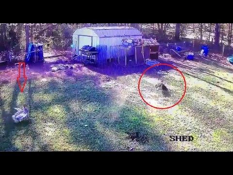 Отважный селезень спас курицу от орла. Невиданная храбрость!