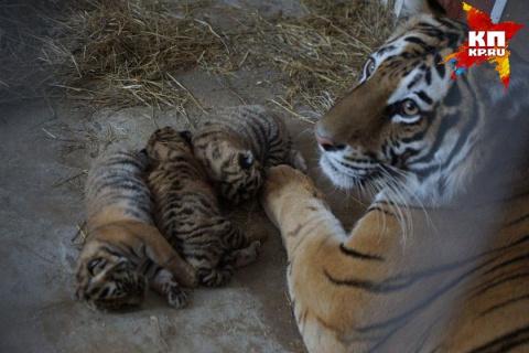 В Екатеринбургском цирке родились три тигренка
