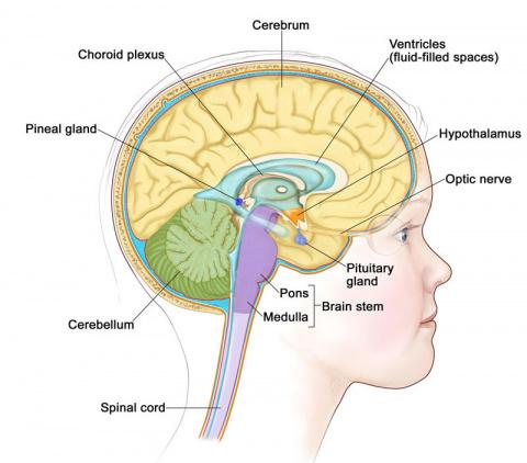 Как созревает детский мозг: …