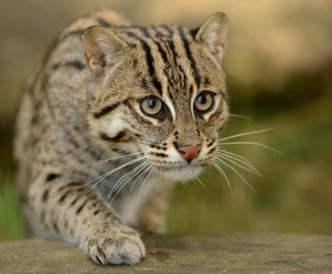 КОШКИН ДОМ. Виверровый кот рыболов