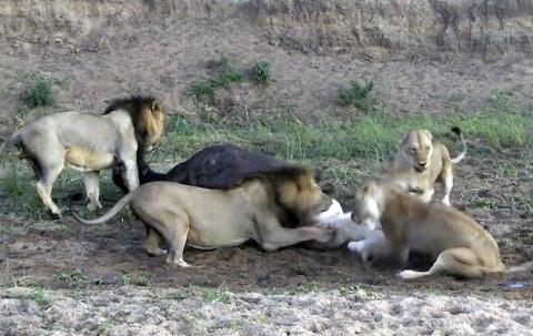 Львы остались без добычи из-за собственной жадности
