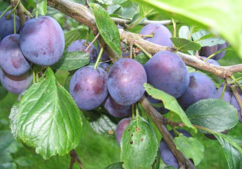 Уход за сливой – простые советы для хорошего урожая